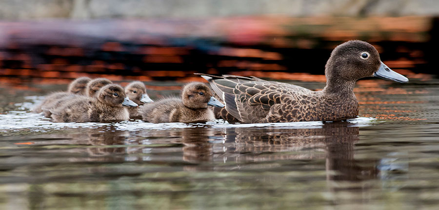 Pateke with chicks - photo credit Malcolm Pullman Photography