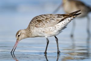 Bar-tailed godwit. Non-breeding adult feeding. Warrington Beach Otago, October 2006. Image © Craig McKenzie by Craig McKenzie Craig McKenzie