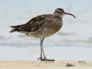 Asiatic whimbrel, Ngunguru sandspit, Northland, December 2016. Photograph by Scott Brooks, New Zealand Birds Online