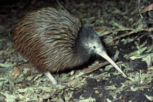 kiwi listening