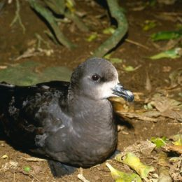Grey faced petrel photo courtesy of NZ Birds Online