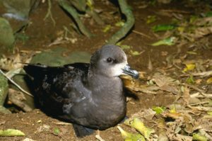 Grey faced petrel colony photo courtesy of NZ Birds Online