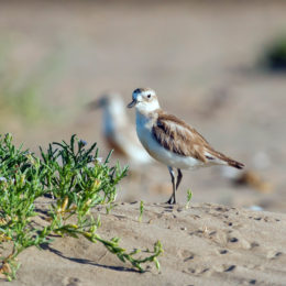 The Dotterel Family: A Photo Story