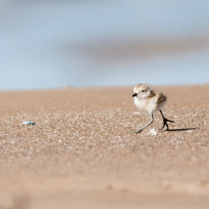 Dotterel chick - photo by Malcolm Pullman