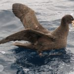 Northern Giant Petrel photo by Scott Brooks