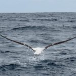 Wandering Albatross taking off photo by Scott Brooks