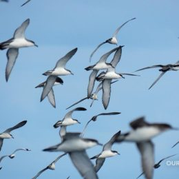 Buller's Shearwaters photo by Scott Brooks