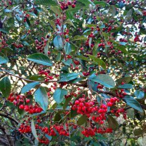 Cotoneaster Autumn Berries