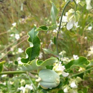 Moth Plant Pod Flower