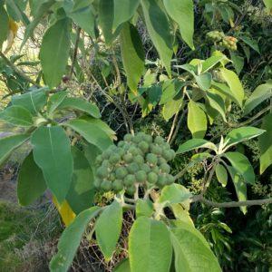 Woolly Nightshade Immature Berries
