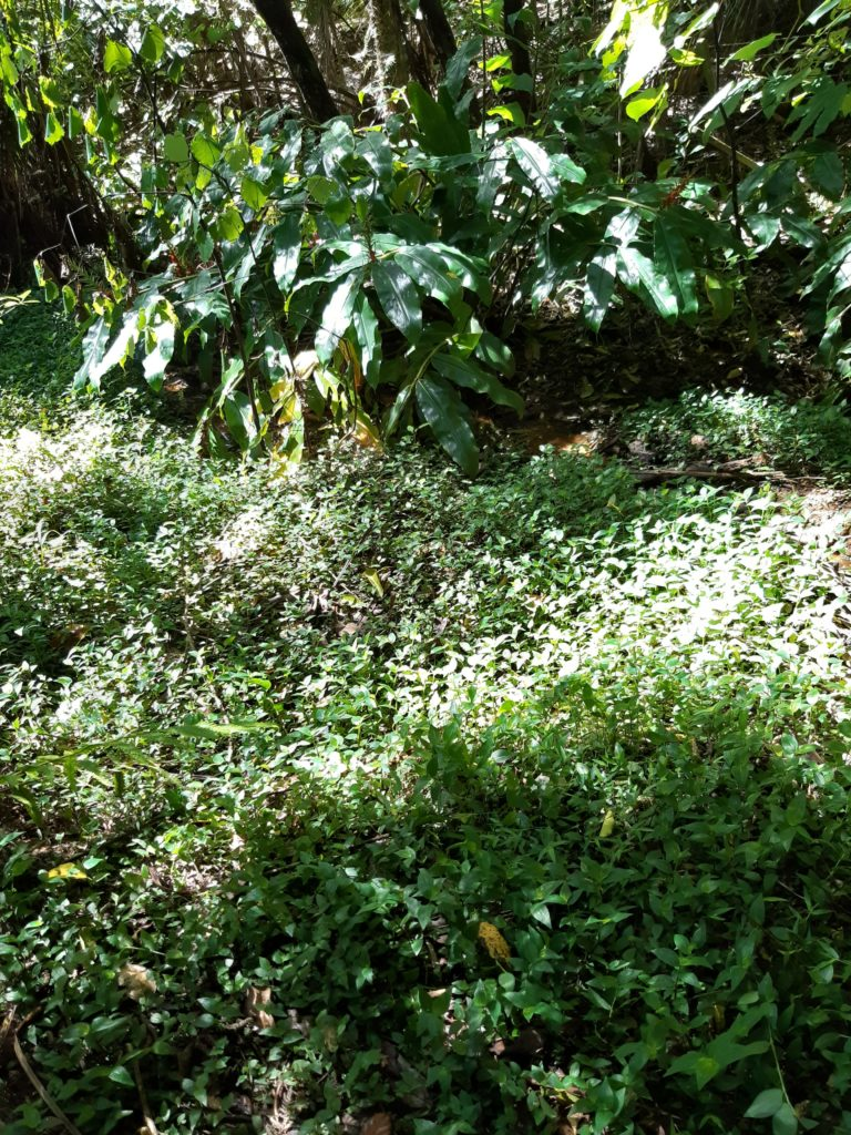 Pacific Bay – battle ground – Ginger and Tradescantia